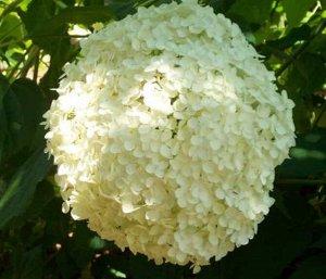 Гортензия древовидная (сорт 'Grandiflora')