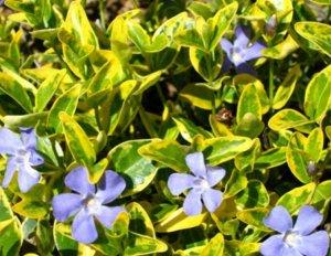 Барвинок малый 'Blue and Gold'