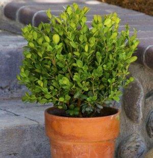 Самшит вечнозеленый (сорт 'Suffruticosa' )