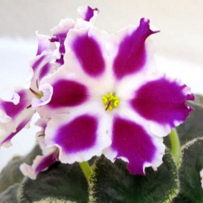 Цветочный калейдоскоп ФИАЛКИ — Листья фиалок