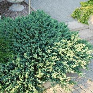 Можжевельник горизонтальный Блю Чип (С2/С3 H20-25) Juniperus horizontalis Blue Chip