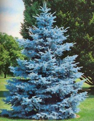Ель колючая Супер Блю (С3 Н30-50) Picea pungens Super Blue