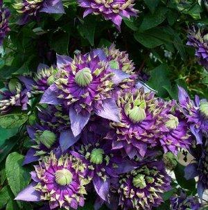Клематис крупноцветковый Тайга (С2) Фиолетово-голубой с зелёно-жёлтыми кончиками Clematis Taiga