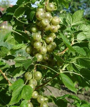 Смородина черная Изумрудное ожерелье (С2)Ribes nigrum Izumrudnoye Ozherele