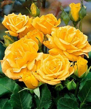 Роза флорибунда Артур Белл (С3,5) желтый Rosa Arthur Bell