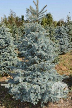 Ель колючая Глаука (Р9) Picea pungens Glauca