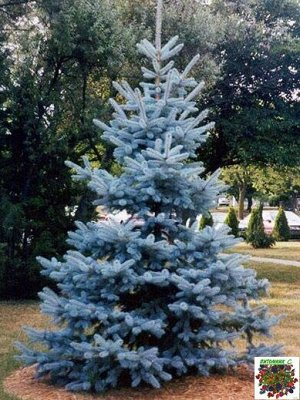 Ель колючая Мисти Блу (Р9) Picea pungens Mysty Blue