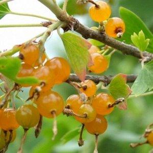 Смородина золотистая Сибирское Солнышко (С2)Ribes aureum Sibirskoe Solnyshko