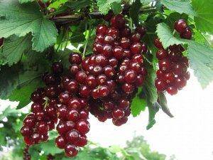 Смородина красная Виксне (С2)Ribes rubrum
