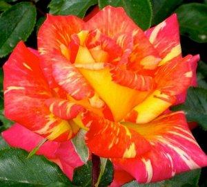 Роза чайно-гибридная Карибия (С3,5) красно-желтый, полосатый Rosa Caribia