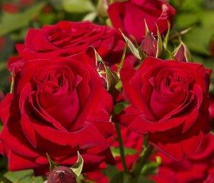 Роза чайно-гибридная Софи Лорен (С3,5) красный Rosa Sophia Loren