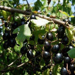 Йошта (крыжовник х смородина) Рекст (С2)Ribes Jostaberry