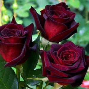 Роза чайно-гибридная Черная Магия (С3,5) черно-красный Rosa Black Magic