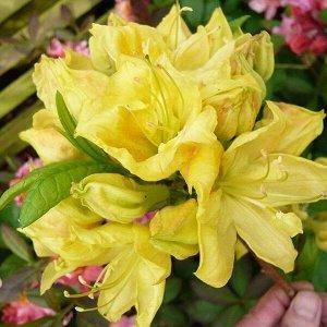 Азалия гибридная Голден Сансет (С2 Н30-40) цветки желтые с абрикосовым пятном Azalea hybrida Golden Sunset
