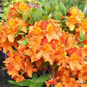 Азалия гибридная Гловинг Эмберс (С2 Н20-30) цветки красно-оранжевые Azalea hybrida Glowing Embers