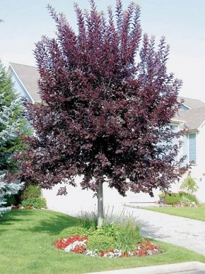 Черемуха виргинская Шуберт (С7,5) лист красно-фиолетовый летом, цветки белые, высота 3-4м Prunus virginiana Shubert