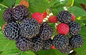 Малина черноплодные сорта Бристоль (С2)Rubus idaeus