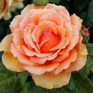 Роза чайно-гибридная Ашрам (С3,5) оранжевый Rosa