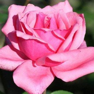 Роза чайно-гибридная Бель Анж (С3,5) розовый Rosa Bel Ange