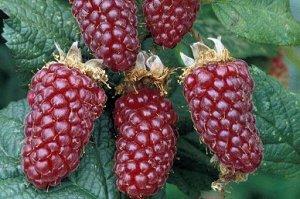 Ежемалина Тейбери (С2)Rubus hybrid Tayberry