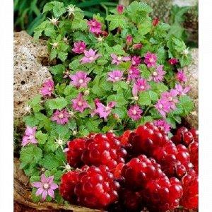 Княженика (Арктическая малина) Тария (С2)Rubus arcticus 'Tarja'
