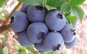 Голубика высокорослая Торо (С2)Vaccinium corimbosum Toro