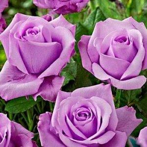 Роза чайно-гибридная Блю Мун (С3,5) сиреневый Rosa Blue Moon