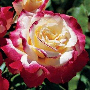 Роза чайно-гибридная Дабл Делайт (С3,5) лепестки белые с красной каймой Rosa Double Delight