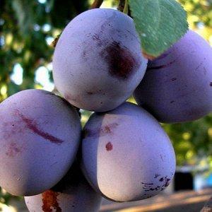 Слива Анна Шпет (С7,5)Prunus Alenushka