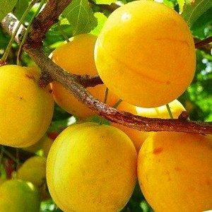 Слива Зареченская желтая (С7,5)Prunus