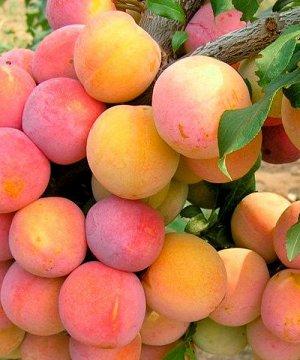 Слива Скороплодная (С7,5)Prunus Skoroplodnaya