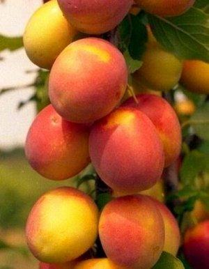 Слива русская (Алыча) пирамидальная Мирабелла (С10)Prunus