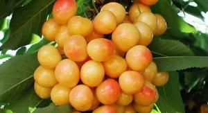Черешня Приусадебная желтая (C10)Prunus avium