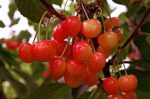 Черешня Фатеж (C10)Prunus avium