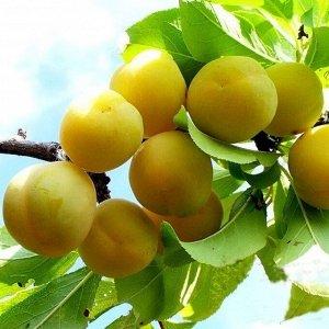 Слива Светлячок / клоновый подвой (С10)Prunus
