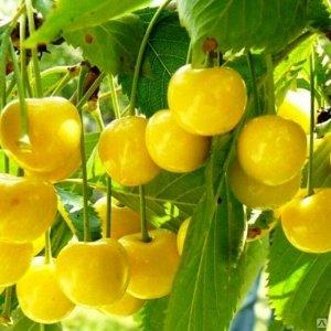 Черешня Рондо / клоновый подвой (С10)Prunus avium