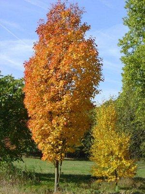 Клен остролистный (С5) лист осенью оранжево-желтый, высота до 30м Acer platanoides