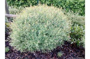 Ива пурпурная Нана (С7,5) лист узкий, серебристо-зеленый, крона шаровидная, выс. до 2 м Salix purpurea  Nana