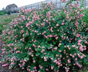 Снежноягодник доренбози Мазе оф Перл (С2) плоды розовые Symphoricarpos doorenbosii  Mother of Pearl
