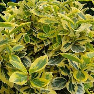 Бересклет Форчуна Эмералд Голд (С2) лист темно-зеленый с желтой каймой, высота 0.4м Euonymus fortunei Emerald Gold