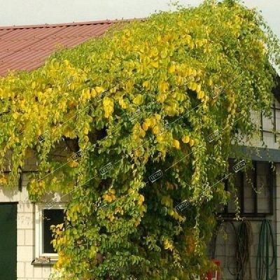 2000 видов семян для посадки! Подкормки, удобрения — Лианы - саженцы