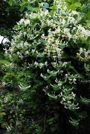 Жимолость каприфоль (С3) цветки кремово-белые, душистые Lonicera caprifolium