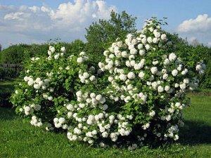 Калина гордовина (С7,5) лист зеленый, войлочный,цветки белые, плод-костянка