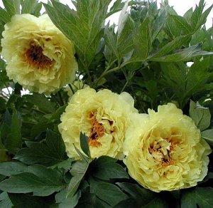 Пион древовидный Кинко (С3,5) желтый, корончатый, средний Paeonia suffruticosa High noon