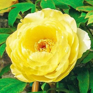 Пион древовидный Хай Нун (С3,5) золотисто-желтый Paeonia suffruticosa High noon