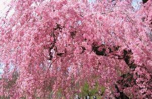 Сакура (Миндаль, вишня декоративная) Пинк Перфекшн (С3)  цветки розовые, махровые