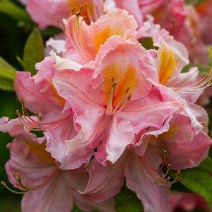 Азалия гибридная Пинк Дилайт (С2 Н30-40) цветки розовые с золотисто-желтым пятном Azalea hybrida Pink Delight