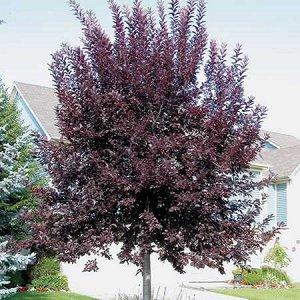Черемуха обыкновенная Неубиенная (С3) лист пурпурный с июля Prunus padus Neubiennaya