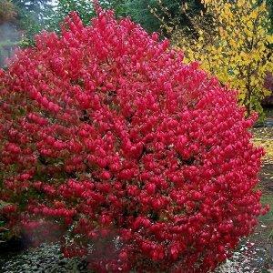 Бересклет крылатый (С2 Н30-40) лист зеленый, осенью красный Euonymus alatus