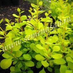 Барбарис Тунберга Ауреа (С2) лист желтый Berberis thunbergii  Aurea